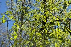 Folha da mola no sol Foto de Stock Royalty Free