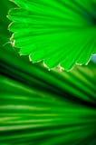 Folha da palmeira de Fuji, linha na folha Imagem de Stock Royalty Free