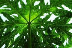 Folha da papaia Fotografia de Stock