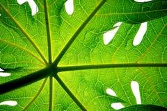 Folha da papaia Imagens de Stock