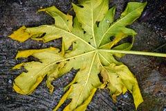 Folha da papaia Imagem de Stock