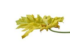 Folha da papaia isolada no branco Imagens de Stock Royalty Free