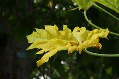 Folha da papaia na profundidade rasa Foto de Stock Royalty Free