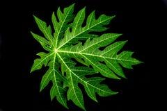folha da papaia no preto Fotografia de Stock Royalty Free