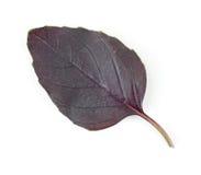 Folha da planta da erva da manjericão Fotos de Stock Royalty Free