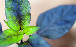 Folha da planta da pimenta Fotografia de Stock Royalty Free