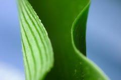 Folha da planta de aranha Imagens de Stock