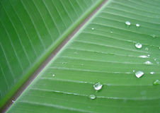 Folha da planta de banana com gotas de orvalho Fotografia de Stock