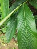 Folha da planta do cardamomo Fotografia de Stock