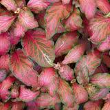 Folha da planta do Coleus Imagem de Stock Royalty Free