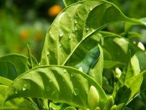 Folha da planta do jasmim fotografia de stock royalty free