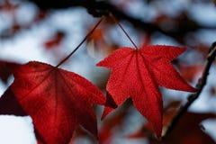 Folha da queda no vermelho Imagem de Stock Royalty Free