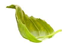 Folha da salada da manjericão foto de stock