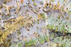 Folha da samambaia destruída por um grupo de lagartas Imagem de Stock Royalty Free