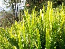 Folha da samambaia, folha verde na estação do inverno Fotos de Stock