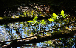 Folha da ternura da mola Fotografia de Stock