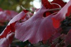 Folha da uva da manhã Imagens de Stock Royalty Free