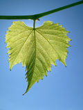 Folha da uva de encontro ao céu fotografia de stock