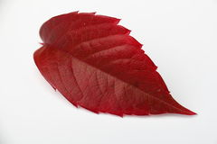 Folha da uva do outono Fotos de Stock