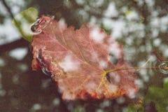 Folha da uva do outono em uma poça foto de stock royalty free
