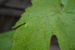 Folha da uva em um dia de verão chuvoso imagem de stock