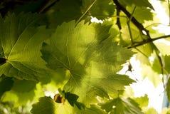 Folha da uva, fundo, imagens de stock royalty free