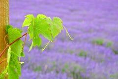 Folha da uva no campo da alfazema Fotografia de Stock Royalty Free