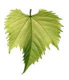 Folha da uva no fundo branco Fotos de Stock