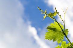 Folha da vinha sobre o céu nebuloso imagem de stock