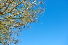 Folha das árvores contra um céu azul brilhante Imagem de Stock