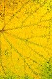 Folha das uvas do outono como o fundo Foto de Stock Royalty Free