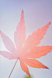 Folha de Autumn Maple do japonês contra a luz do sol Foto de Stock Royalty Free