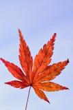 Folha de Autumn Maple do japonês contra o céu azul claro Imagem de Stock Royalty Free