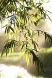 Folha de bambu Imagens de Stock