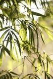 Folha de bambu Fotografia de Stock Royalty Free