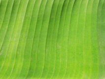 Folha de Banan Imagens de Stock