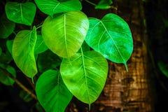 Folha de Bodhi Fotografia de Stock