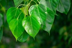 Folha de Bodhi ou de Peepal da árvore de Bodhi Imagem de Stock