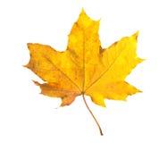 Folha de bordo alaranjada isolada no branco Folha seca do outono Imagem de Stock