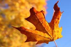 Folha de bordo alaranjada no outono imagem de stock