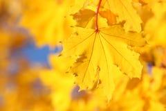 Folha de bordo amarela imagens de stock