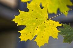 Folha de bordo amarela Fotos de Stock Royalty Free