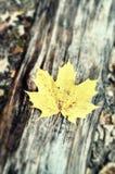 Folha de bordo amarela Imagem de Stock