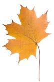 Folha de bordo amarela Imagens de Stock Royalty Free