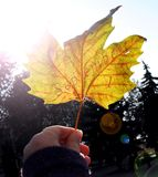 A folha de bordo amarela do outono com inscrição ` ` do 1º de setembro na mão do ` s da menina incandesce nos raios do sol brilha Imagem de Stock