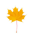A folha de bordo amarela do outono cortou em um fundo branco, trajeto Fotos de Stock Royalty Free