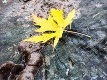 Folha de bordo amarela no outono Foto de Stock Royalty Free