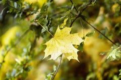 Folha de bordo amarela nos ramos de árvore verdes, contexto natural do outono Estações, conceito nostálgico do humor fotos de stock royalty free