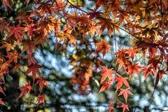 Folha de bordo bonita com fundo do bokeh e do borrão no outono (01) Fotos de Stock