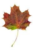 Folha de bordo colorida do outono isolada no fundo branco Fotos de Stock